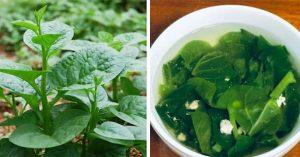 Ăn rau mồng tơi có tác dụng tăng hệ miễn dịch